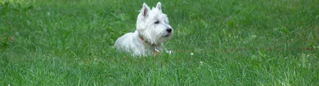 Westie Rescue Of New England Inc - Norton, MA - Alignable