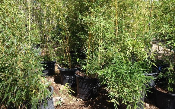 Bamboo Plants By Ranch In Tucson Az Alignable