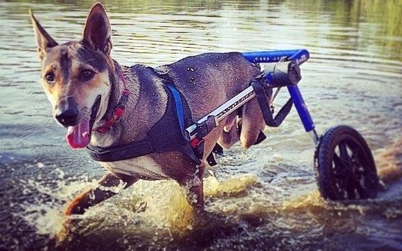 Walkin Wheels Wheelchair By Walkin Pets By Handicappedpets Com In Amherst Nh Alignable