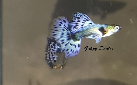 Imported Blue Dumbo Mosaic Guppies From Around The World By Tropical Fish Paradise Houston Tx In Houston Tx Alignable